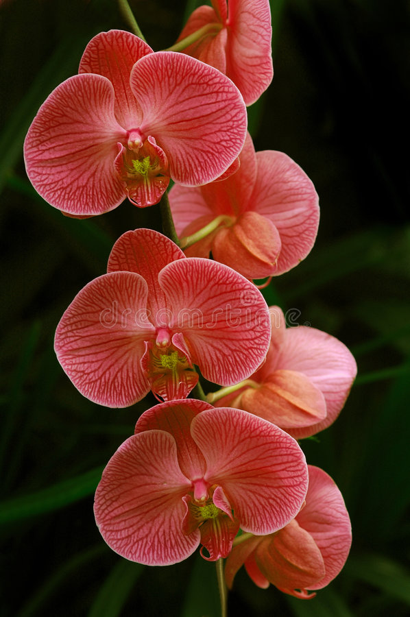 Pink Orchids stock photography