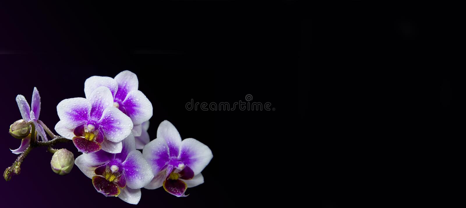 Pink orchids with droplets of water and copy space isolated on black. Floristic colorful abstract spa background royalty free stock images