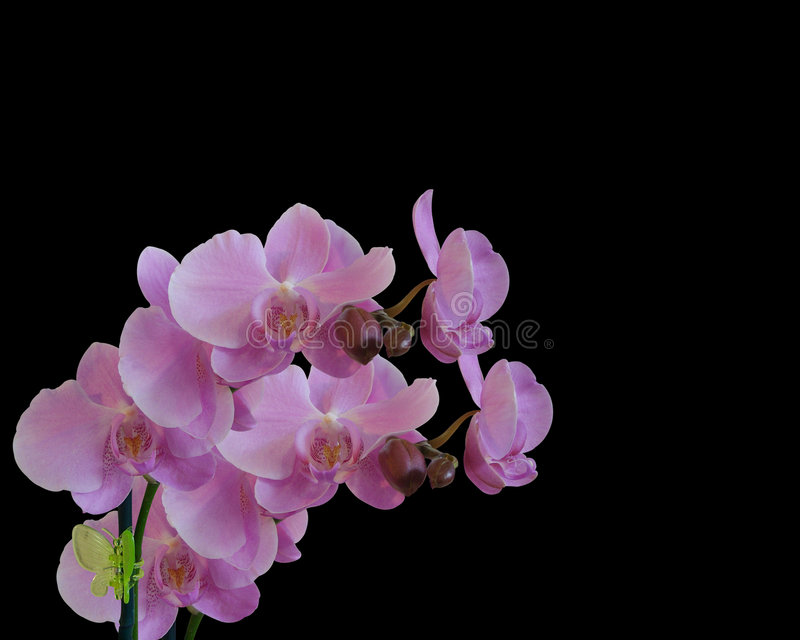 Pink Orchids isolated on black royalty free stock image