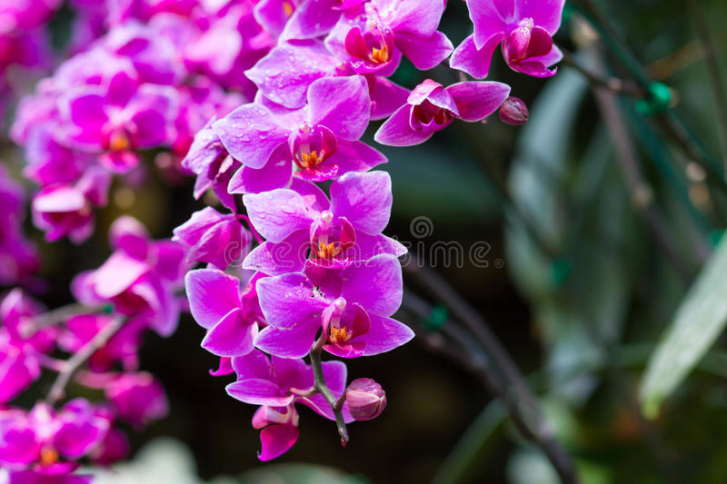 Pink Orchids. Pink Orchid flower in the garden royalty free stock images