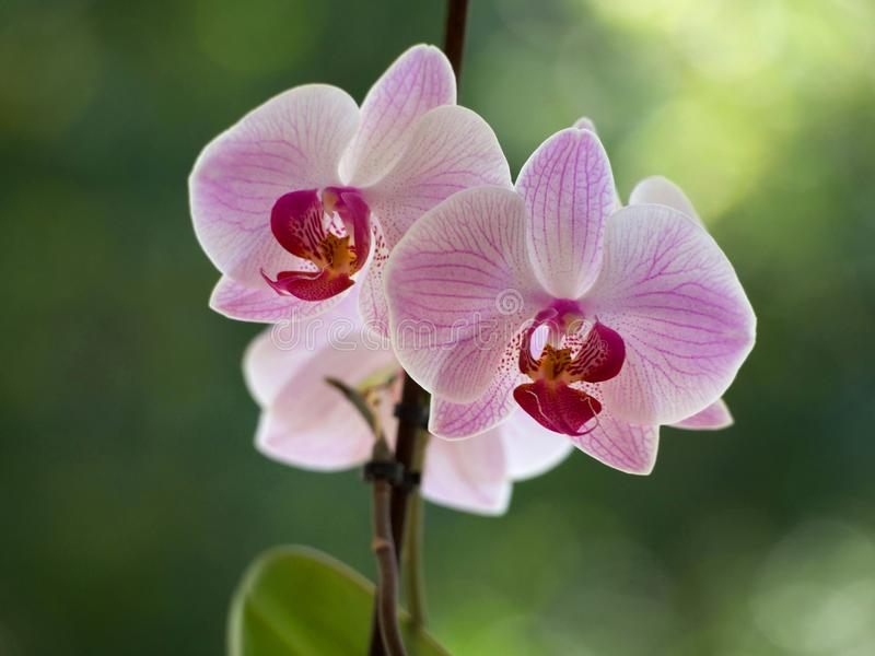 Pink orchids. On a blurred background stock photo