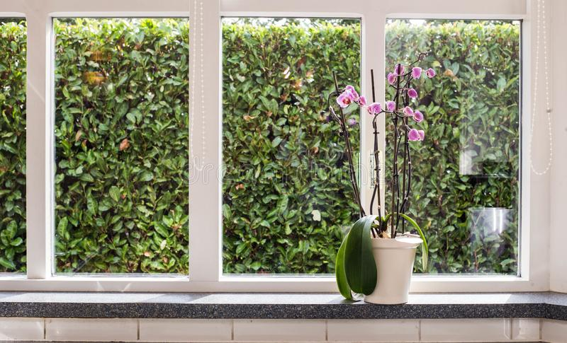 Pink orchids in a white vase on windowsill with green view on a sunny day in a home stock photography
