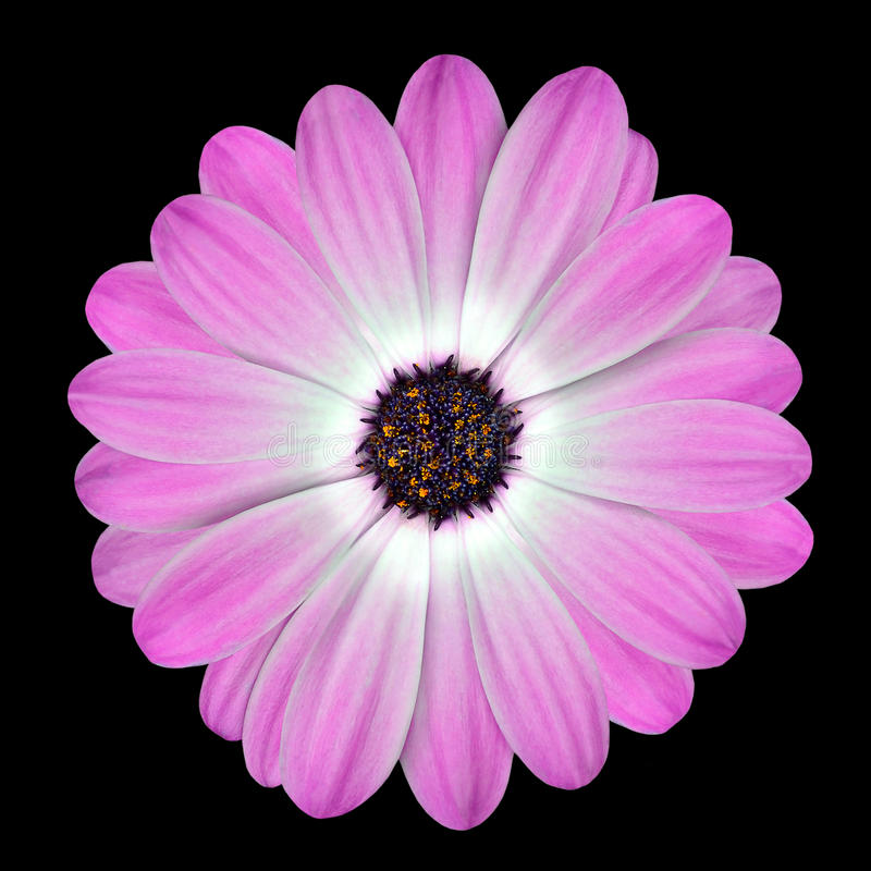 Pink Osteospermum Daisy or Cape Daisy Flower stock photo