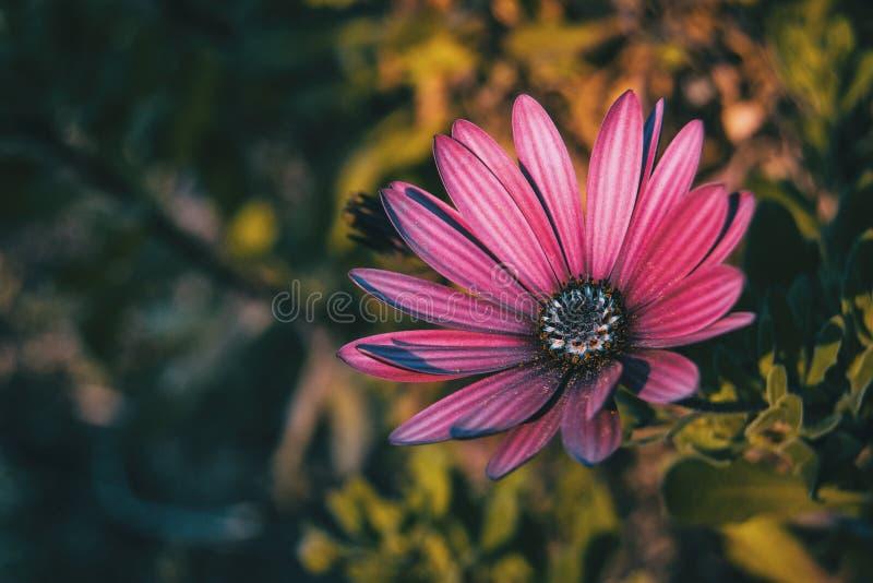 Pink osteospermum ecklonis flower. At sunset stock photo