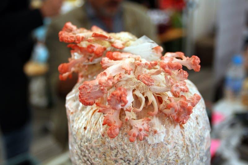 Pink Oyster Mushroom. Blue Oyster growing in sawdust. Fresh Pink Oyster mushrooms growing in grow kit. Pleurotus ostreatus. Fungi. Pink Oyster Mushroom. Blue royalty free stock photos