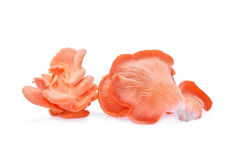 Pink oyster mushroom isolated on white. Background stock images