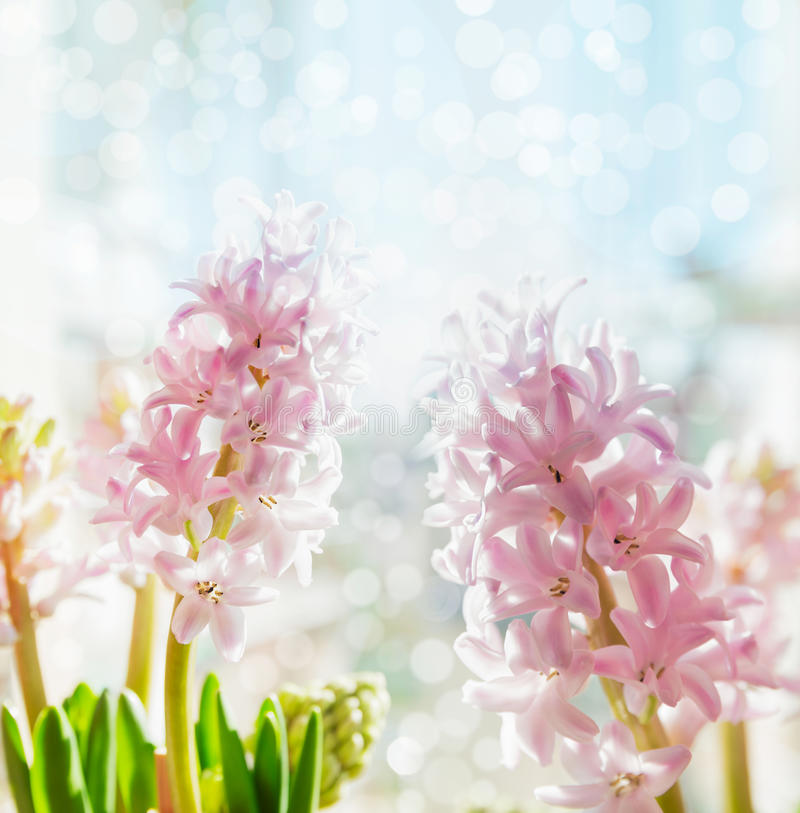 Pink pale hyacinths on blue bokeh background, selective focus. Spring flowers stock photo