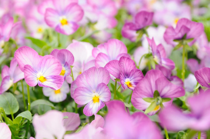 Pink pansy stock image image of tiny field bloom plant 20956883 download pink pansy stock image image of tiny field bloom plant mightylinksfo Choice Image