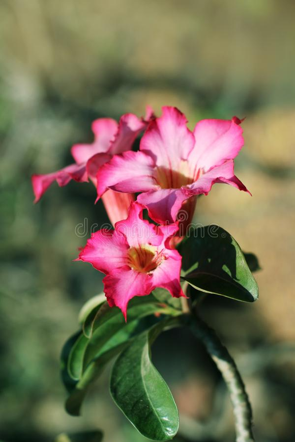 Paper blossom or pink azalea Impala Lily flower purple with bushy beautiful on soft and blur background royalty free stock images