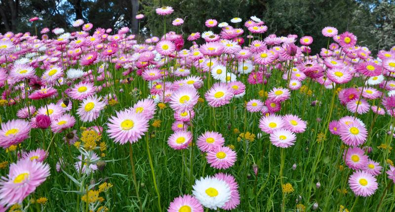 Pink Paper Daisies stock image