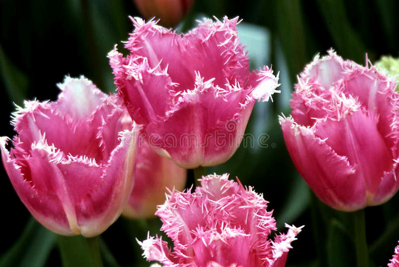 Pink Parrot Tulips royalty free stock photo