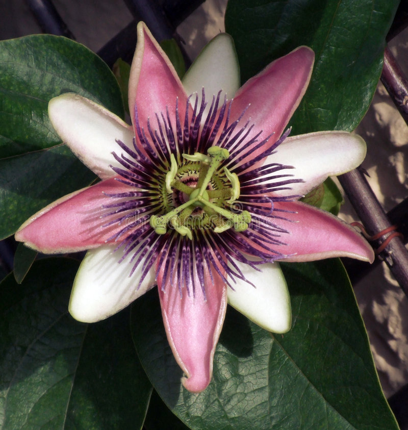 Pink Passion Flower royalty free stock photography