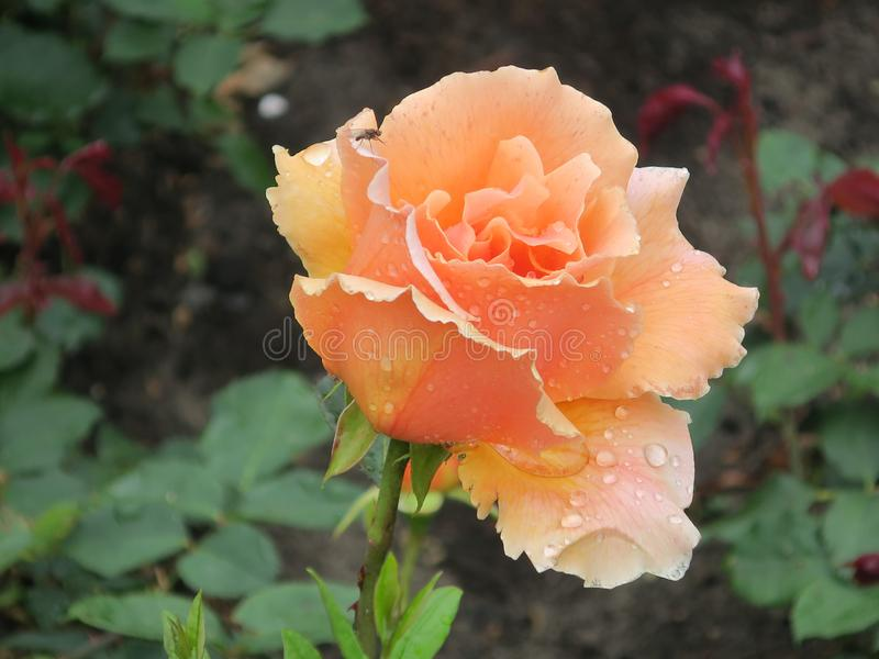 Pink pastel rose with raindrops and a fly in the rose garden of the Vondelpark in Amsterdam. A pink pastel rose with raindrops and a fly in the rose garden of royalty free stock image