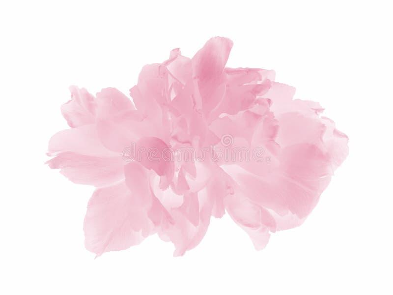 Pink pastel tulip royalty free stock image