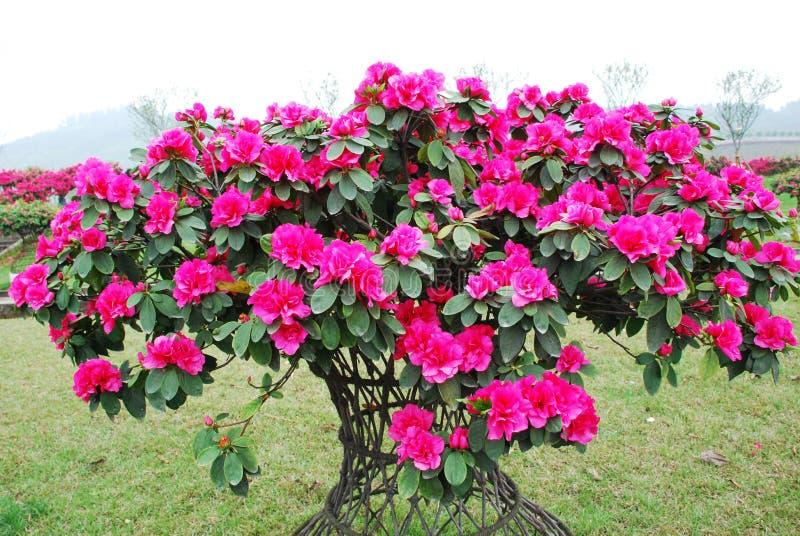 Pink peach azalea blooms stock images