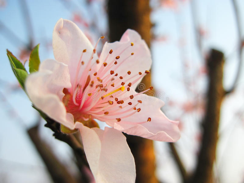 pink peach blossom stock photography