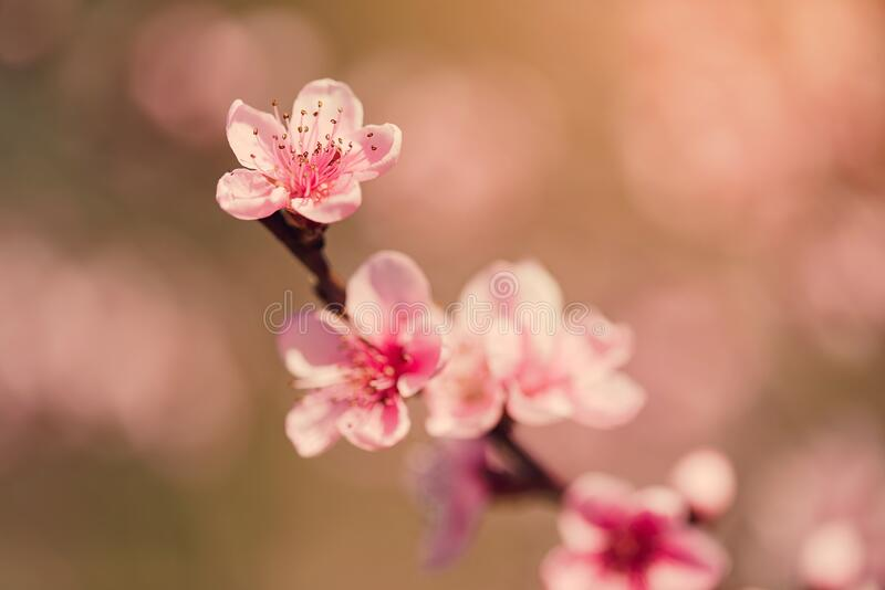 Pink peach flower blossom in the garden. Closeup photo stock images
