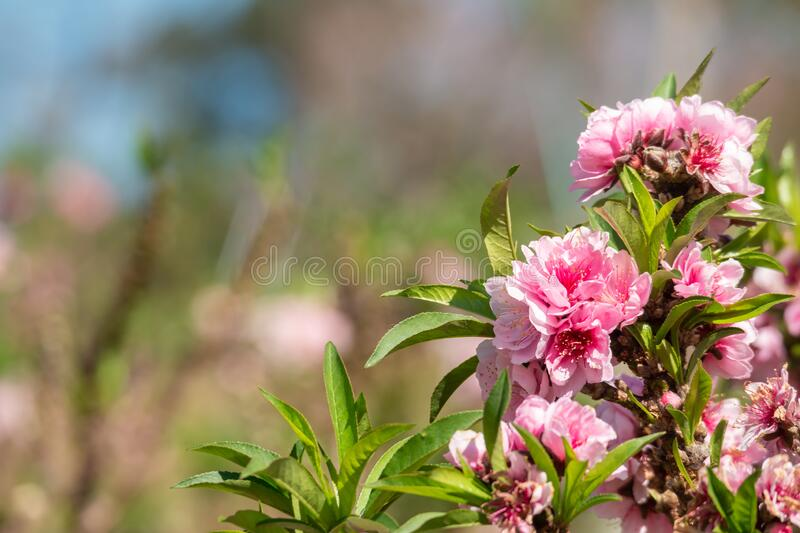 Pink peach flower blossoms in the garden. Close up of pink peach flower blossoms in the garden during the spring bloom, agriculture plantation in North of stock images
