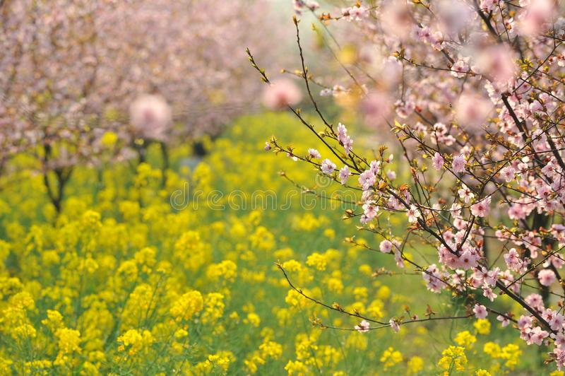 Download Pink Peach And Plum Blossom-flower And Seedling Industry Stock Image - Image of animals, head: 107437455