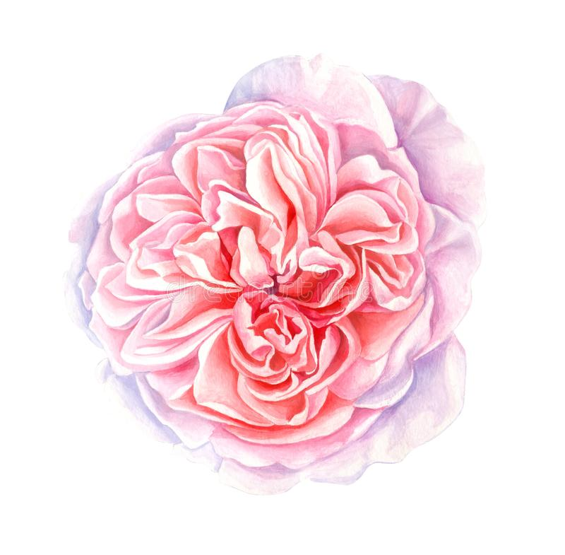Watercolor pink-peach rose isolated on white background stock illustration
