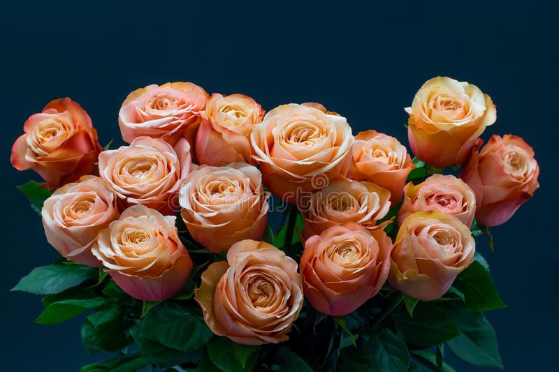 Pink peach roses close up on a dark background floral background stock photos