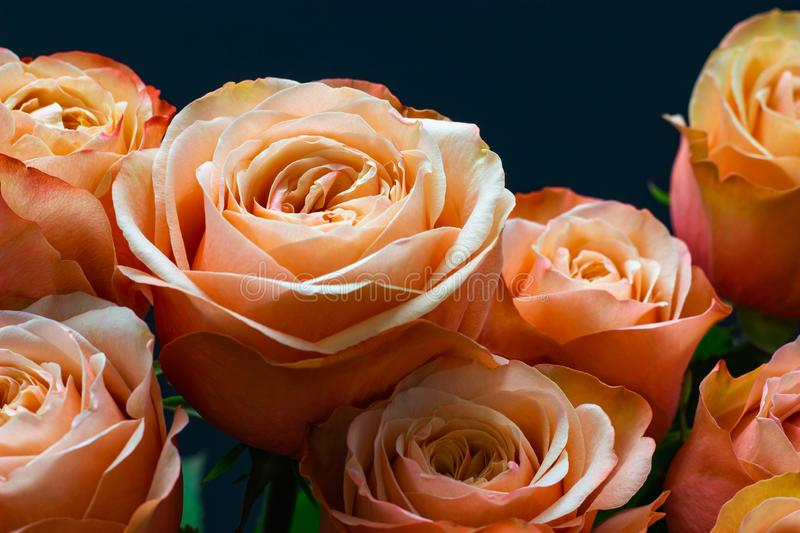 Pink peach roses close up on a dark background floral background royalty free stock photos