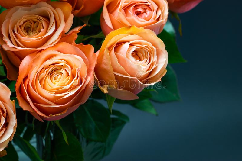 Pink peach roses close up on a dark background floral background royalty free stock images