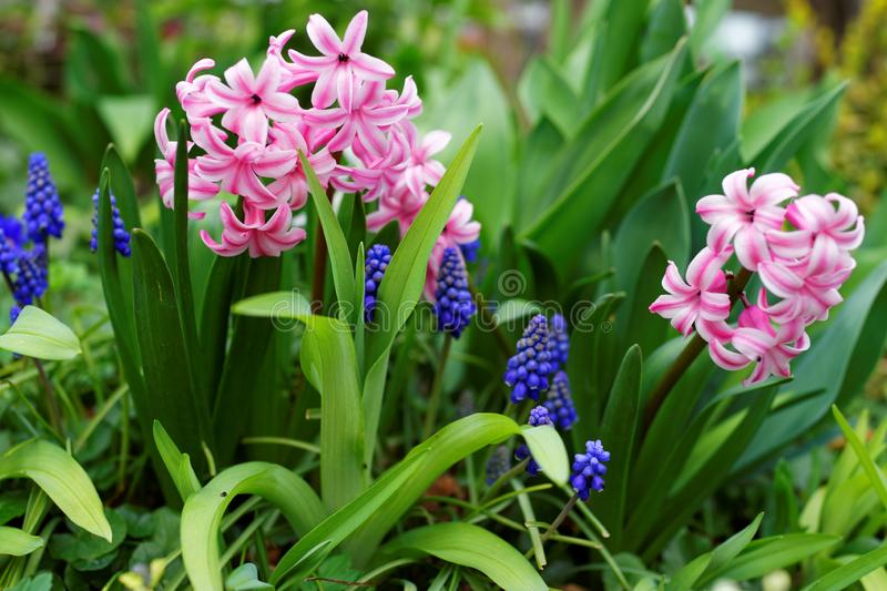 Pink Pearl Hyacinth and blue Grape Hyacinth flowers at bloom in garden stock image