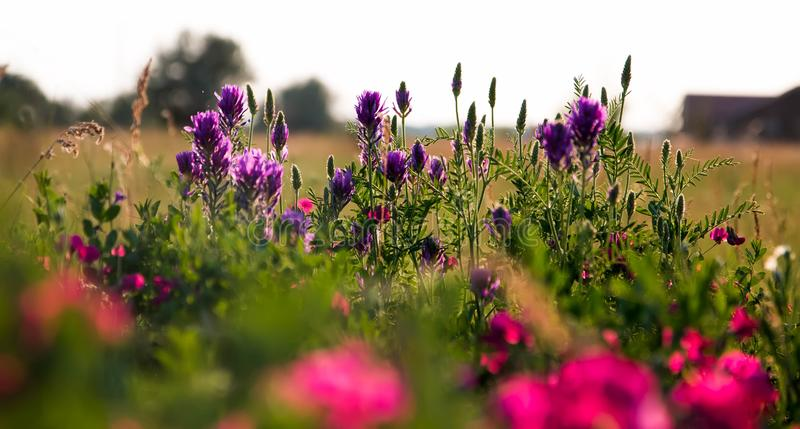 Pink peas and summer meadow flowers against the sky stock photo