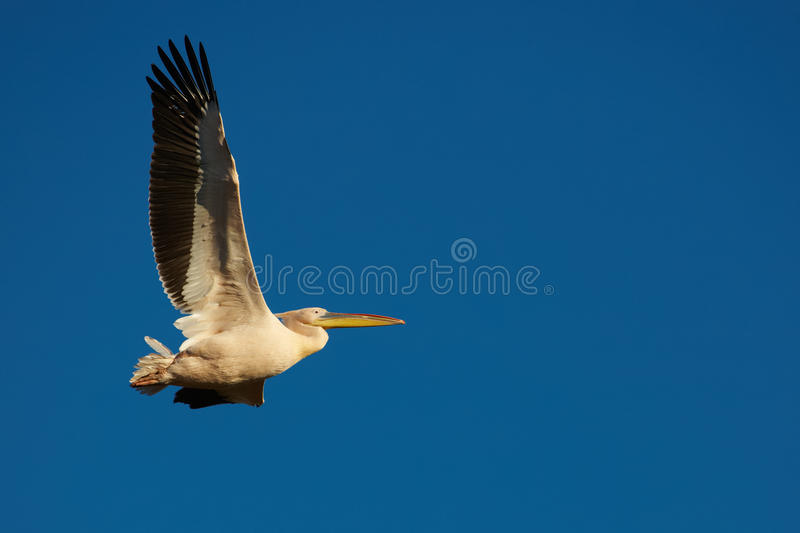 Download Pink Pelican in flight stock photo. Image of nature, wing - 27825812