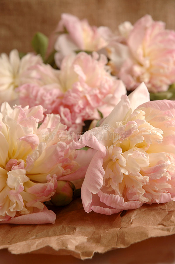 Pink peonies royalty free stock images