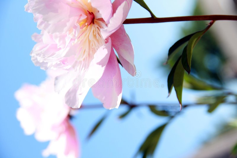 Download Pink Peonies stock photo. Image of nature, pink, flowerhead - 5578370