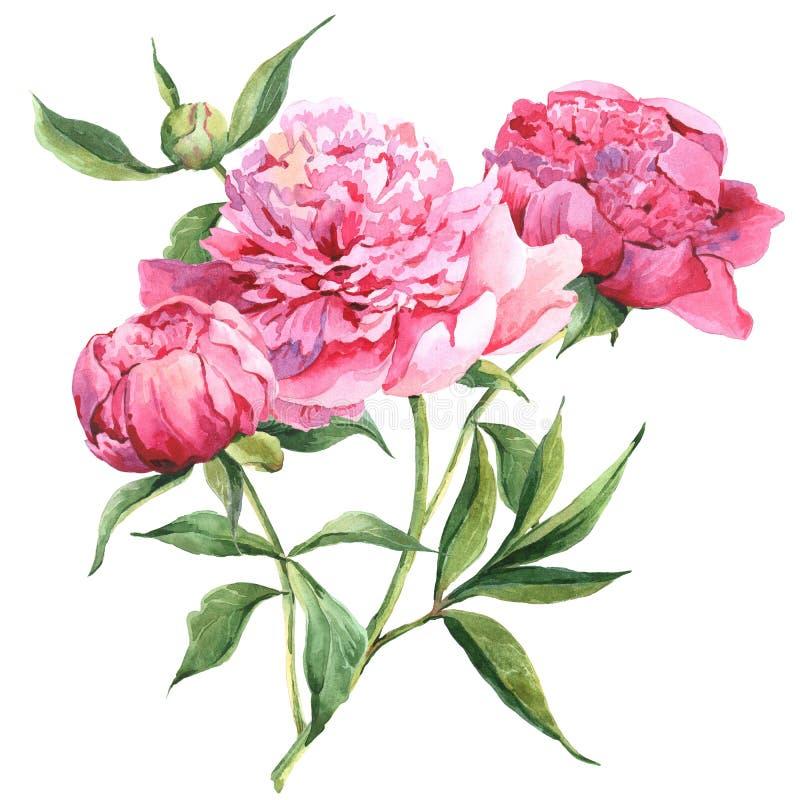 Pink peonies botanical watercolor illustration. Pink vintage peonies, botanical spring watercolor illustration vector illustration