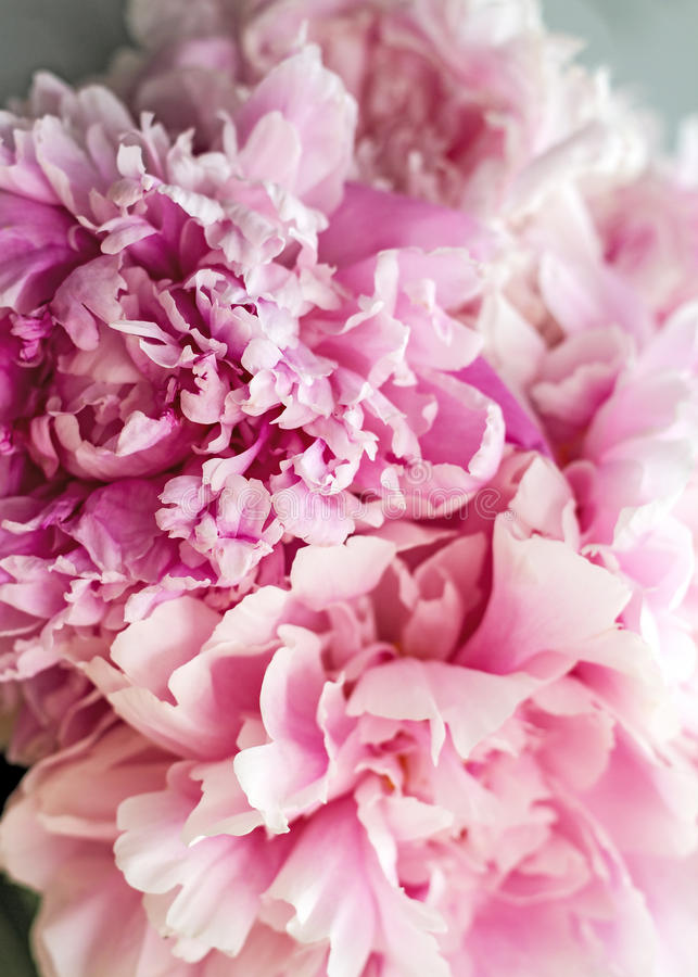 Pink peonies in a bouquet royalty free stock photo