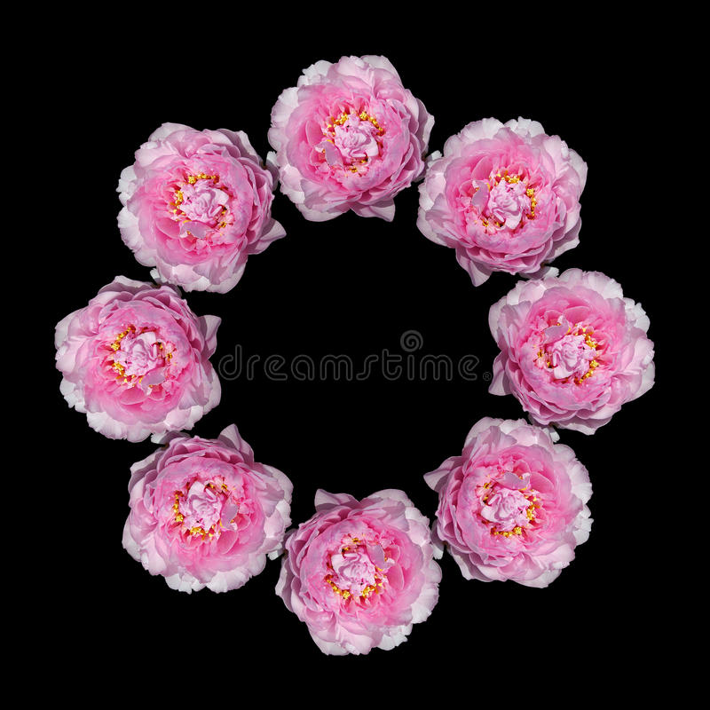 Pink peonies flowers royalty free stock photography
