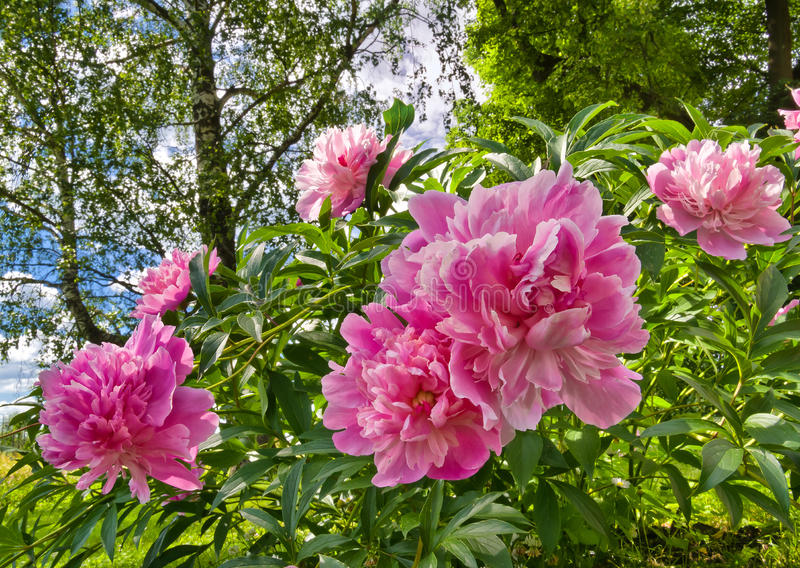 Pink peonies. In a garden stock photo