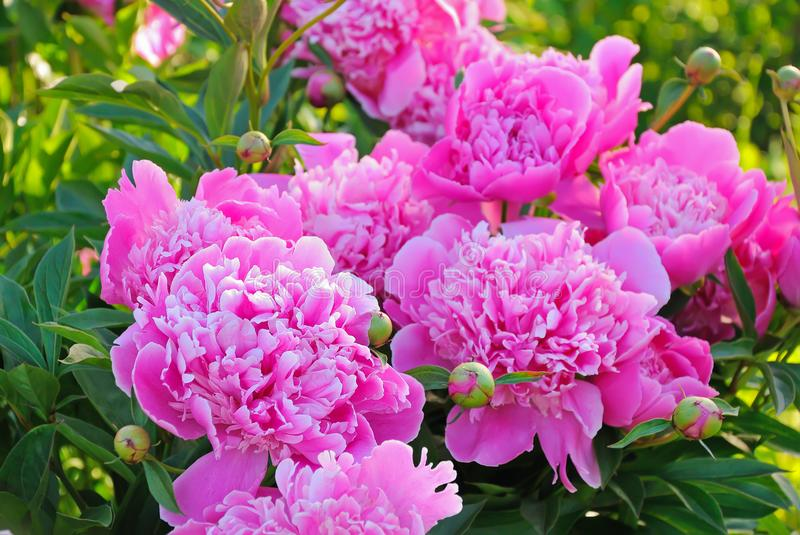Pink peonies in the garden. Close up royalty free stock image