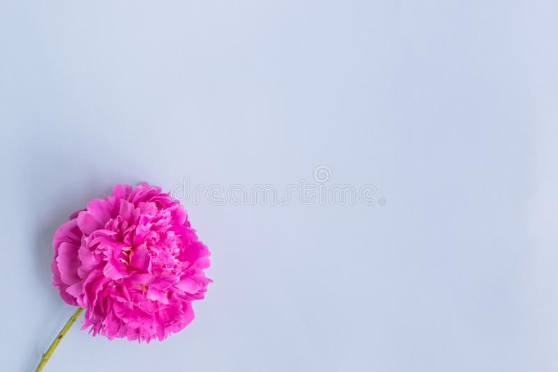 Pink peonies on a light blue background royalty free stock photos