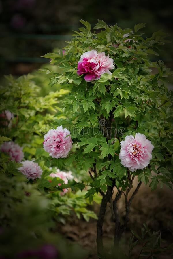 Pink Peonies In The Luoyang Peony Gardens  royalty free stock image
