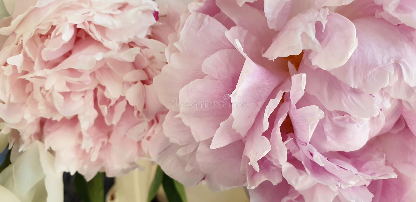 Pink peonies romantic flowers background stock photos