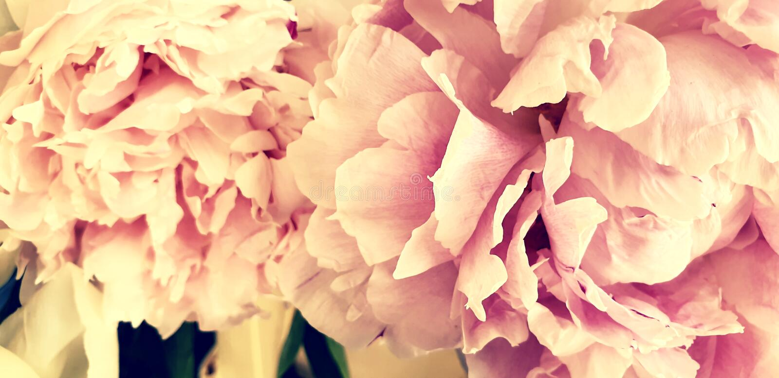 Pink peonies romantic flowers background royalty free stock image