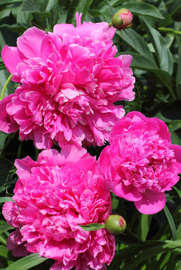 Pink peonies. Showy flowers of pink peonies in garden close-up stock images