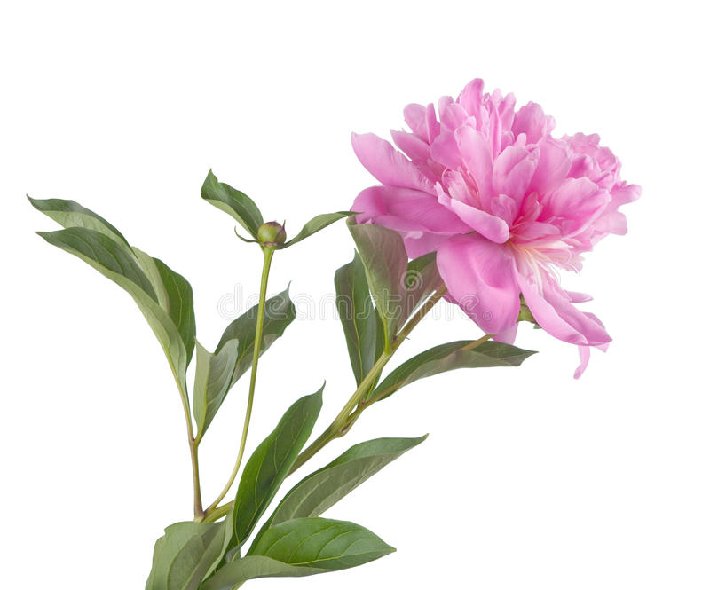 Download Pink Peony Royalty Free Stock Photography - Image: 19820477
