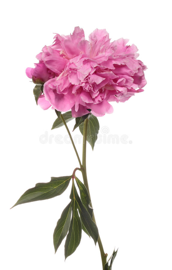 Download Pink Peony Royalty Free Stock Photography - Image: 20002657