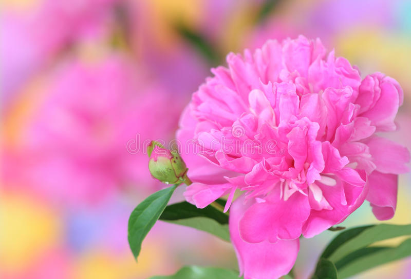 Download Pink Peony Stock Photography - Image: 24896102