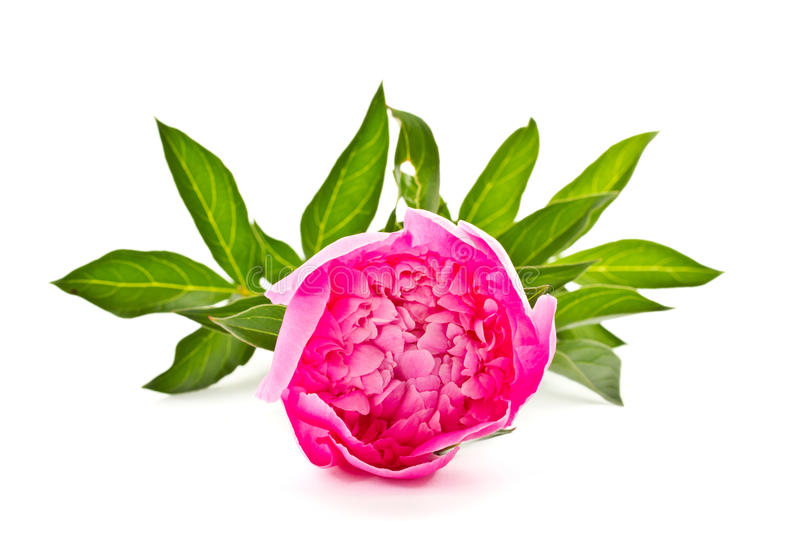 Download Pink peony stock image. Image of greeting, color, fresh - 24928971