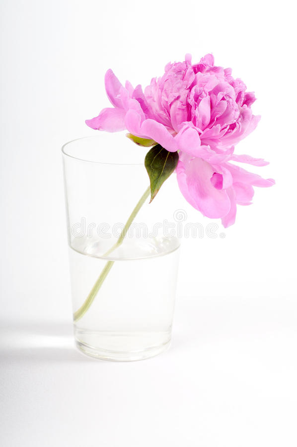 Download Pink peony stock photo. Image of nature, beauty, decoration - 25295270