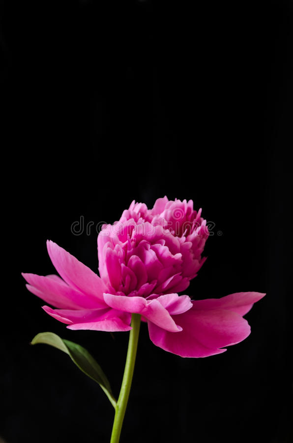 Pink peony on the black stock photo