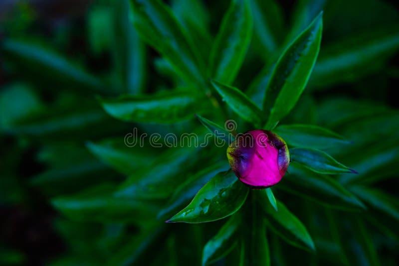 Beautiful pink peony bud on a dark background royalty free stock photo