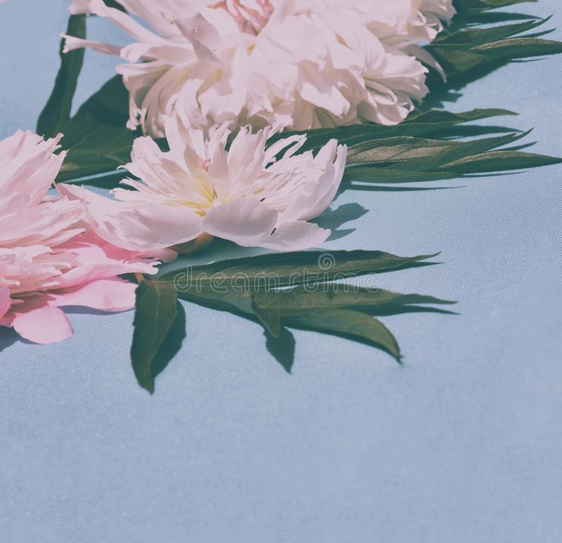 Pink peony flower. On blue background royalty free stock images